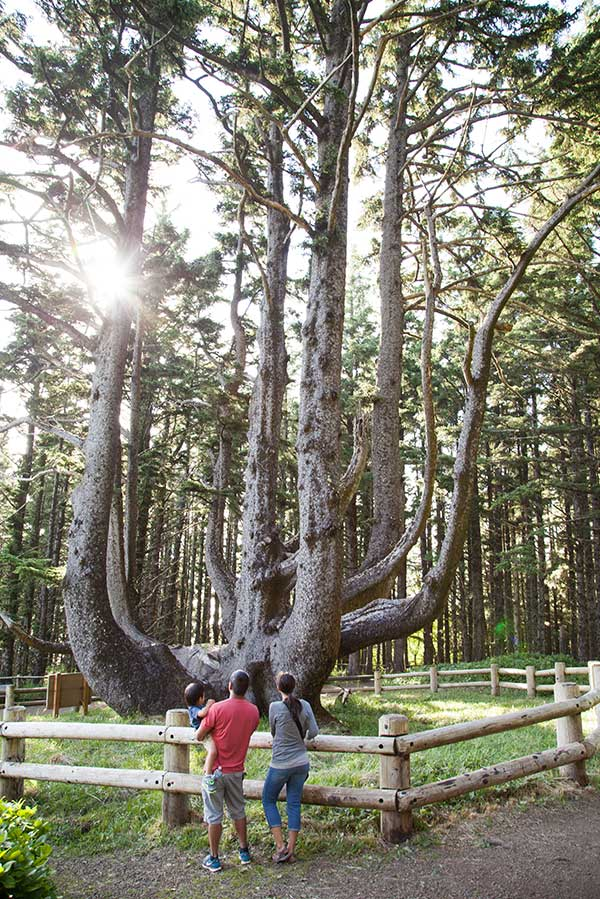 Tillamook County Cape Meares Octopus Tree