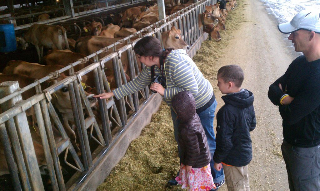 Family pets cows in their stalls