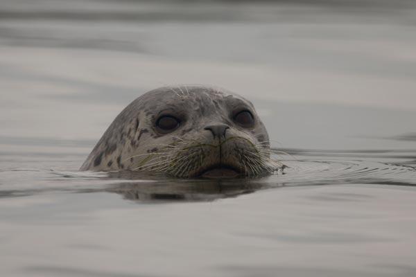 Seal Oregon Coast
