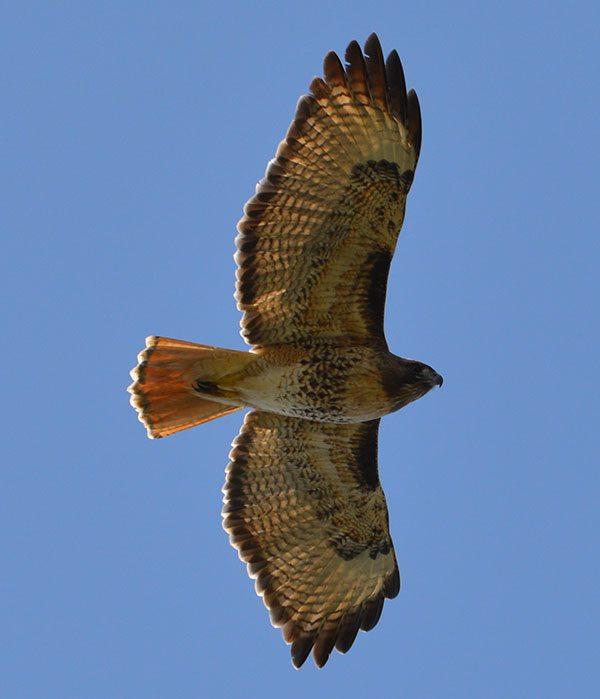 Hawk at the Oregon Coast