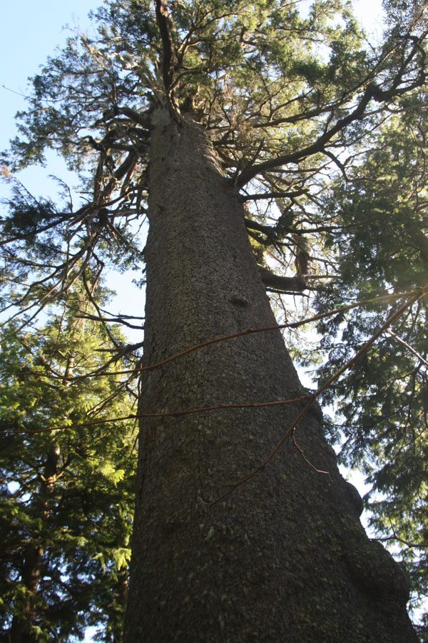 The Big Spruce, the largest Sitka spruce in Oregon, stands 144 tall in the U.S. Fish and Wildlife Service's Cape Meares National Wildlife Refuge. The giant tree is estimated to be 700 to 800 years old. Photo by Bob Reed, USFWS