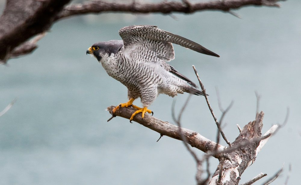 The Peregrine falcon is the fastest animal on earth when it dives to make other birds its dinner. Visitors to the U.S. Fish and Wildlife Service's Cape Meares National Wildlife Refuge may see this spectacular creature in action. Photo by Roy Lowe, USFWS