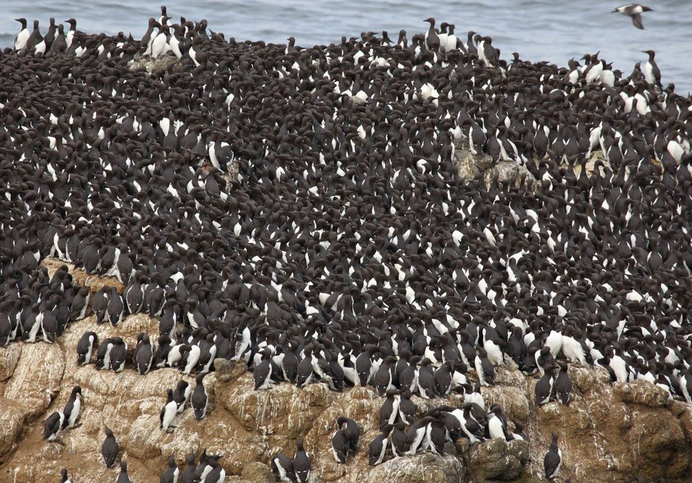 Big flock of black-and-white birds congregates on a giant rock in the water