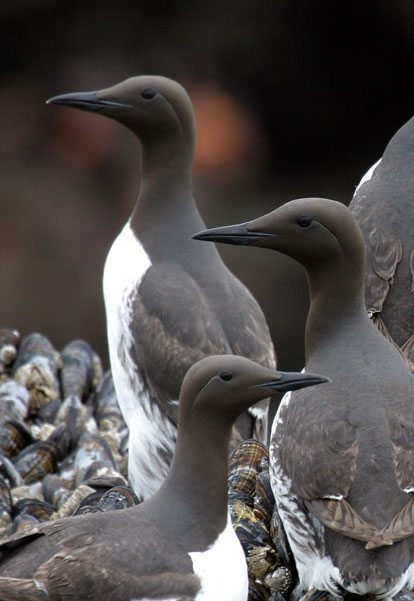 Sleek black sea birds looking out with white chests