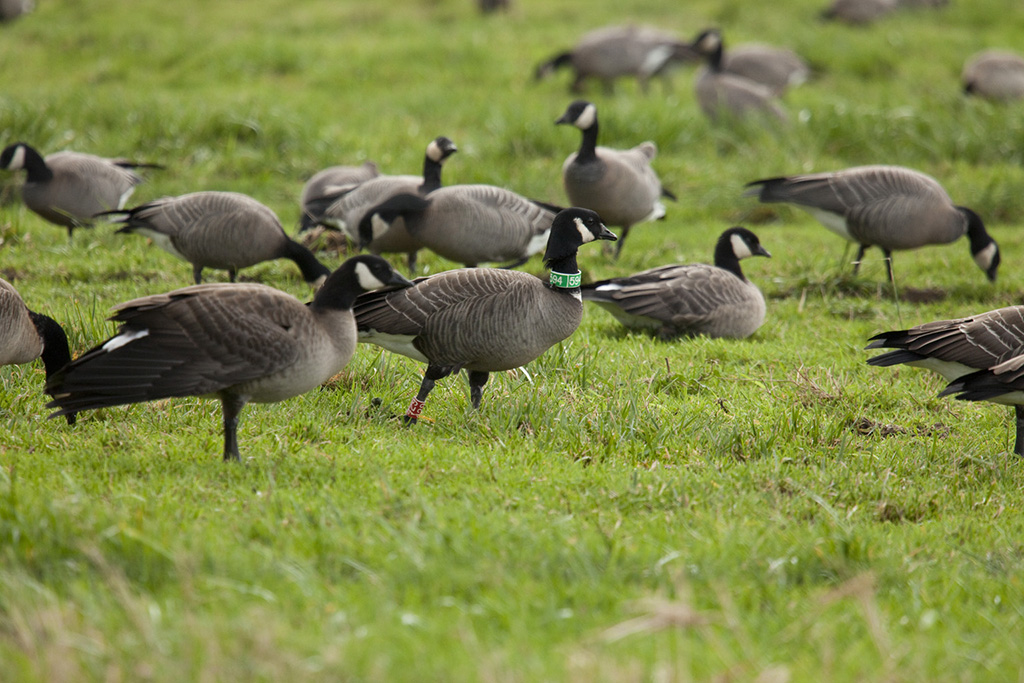 Semidi Islands Aleutian cackling goose by Roy Lowe