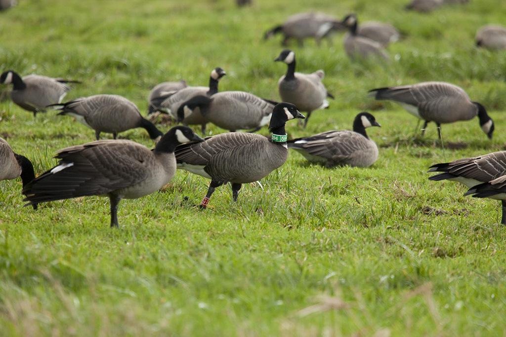 Semidi Islands Aleutian cackling goose by Roy Lowe