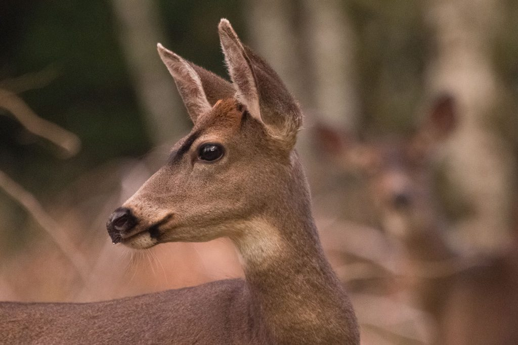 A female deer looks to the left with other deer in the background
