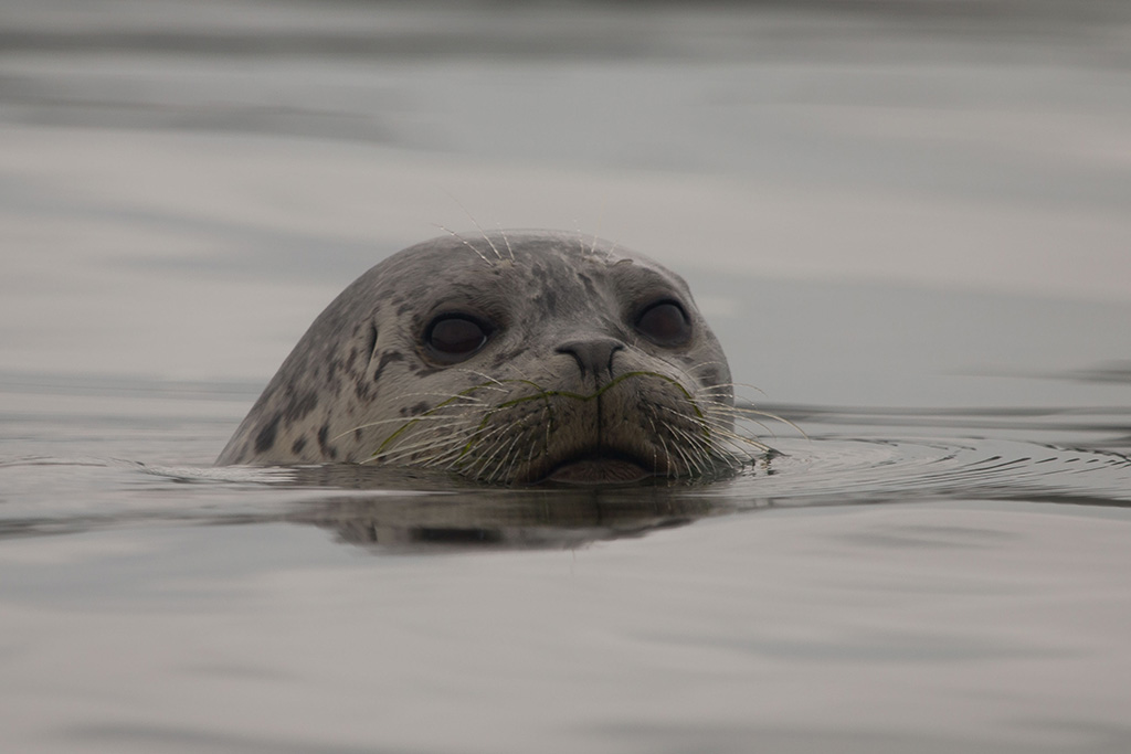 harbor seal by Peter Pearsall