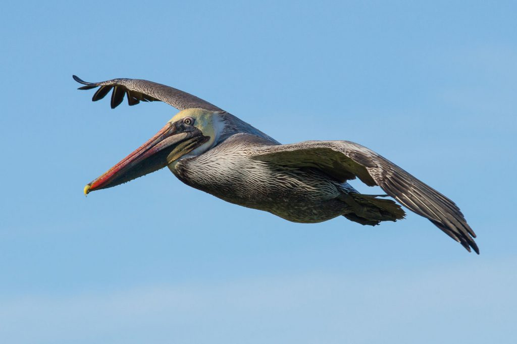 Pelican flying across clear sky with wings outstretched