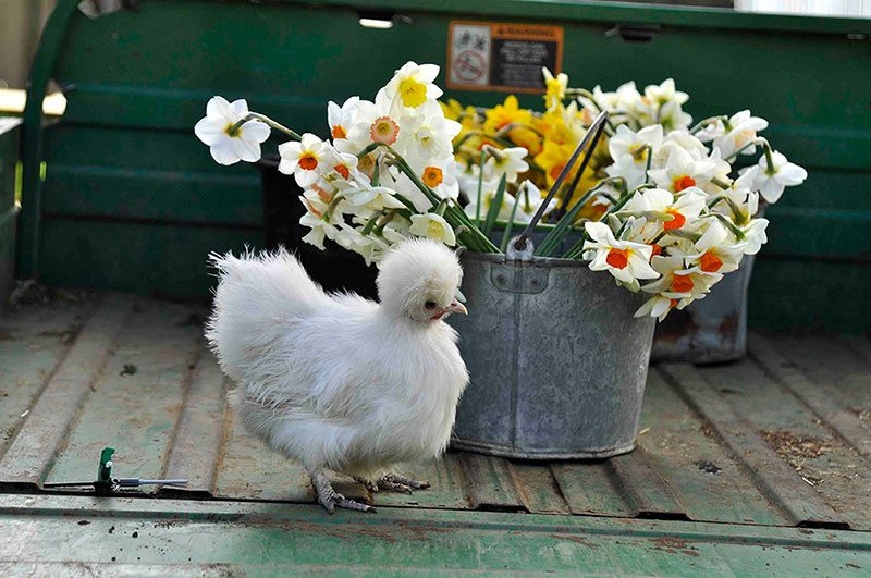 Farm still life with chick bucket and daffodils