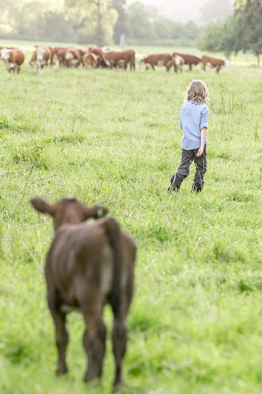 Calf with rancher's son
