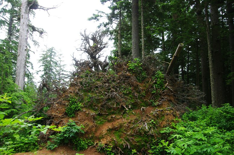 Roots of the 800-foot Sitka Spruce
