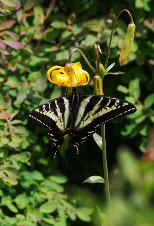 Pale Tiger Swallowtail