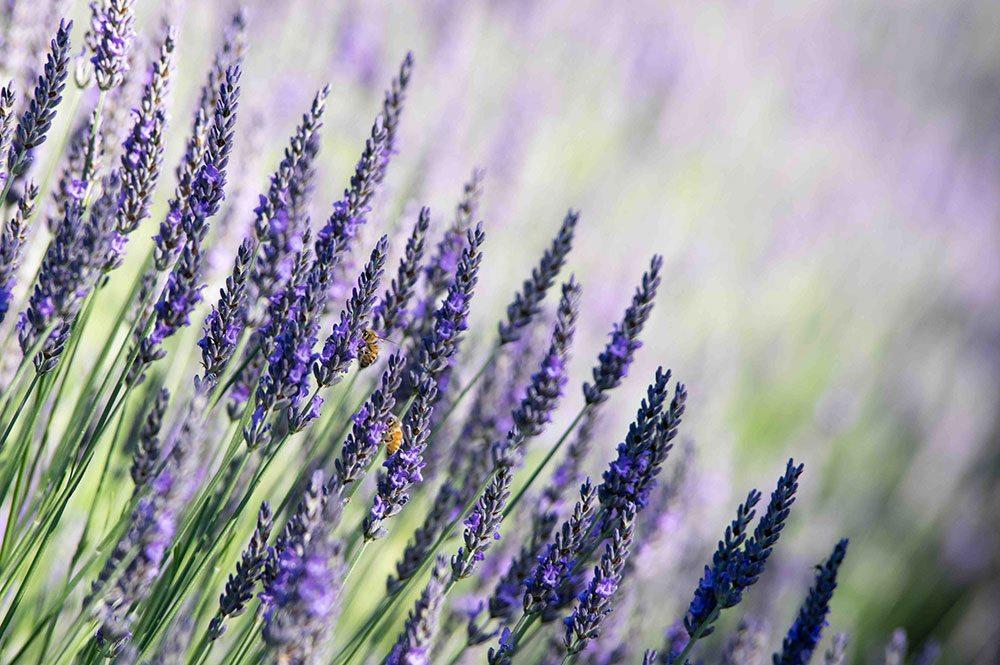 Honey bees on lavender