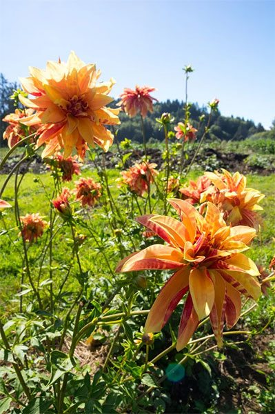 Giraffe - 1940s Heirloom dahlia