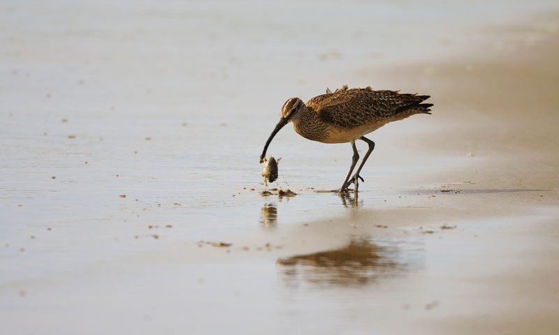 Whimbrel eating Mole Crab