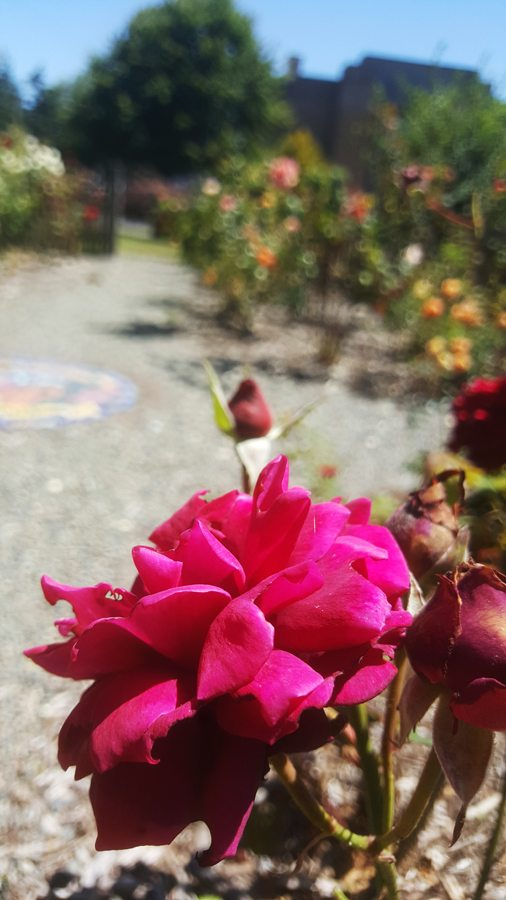 Rose Garden - Tillamook County Pioneer Museum