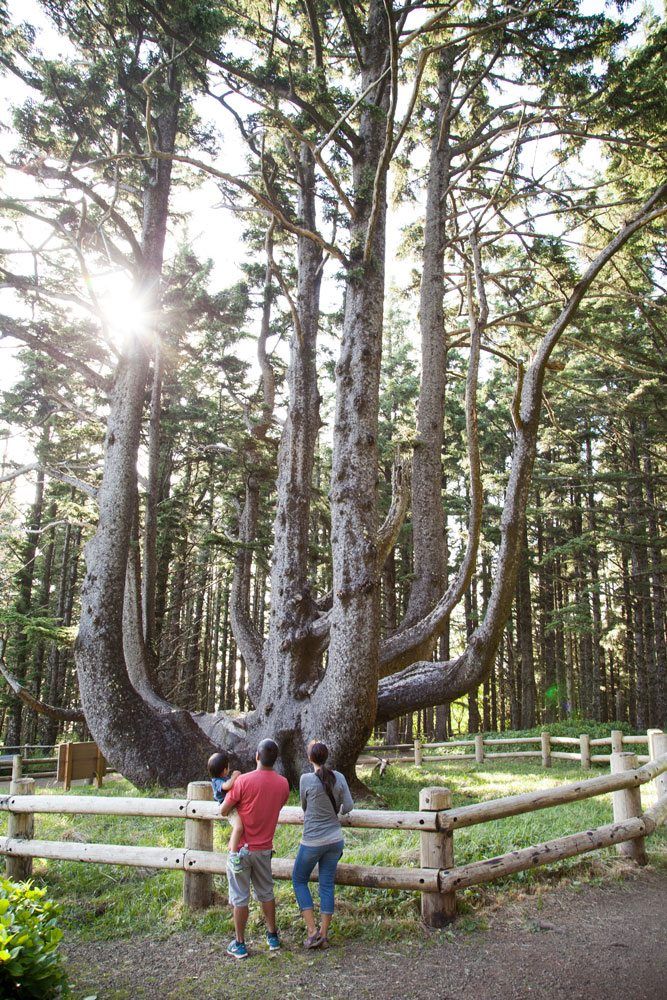 Cape Meares Octopus Tree