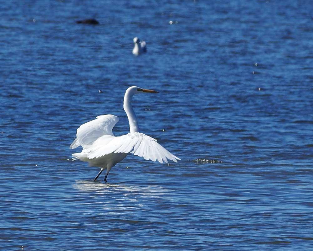 Great Egret Tillamook Bay