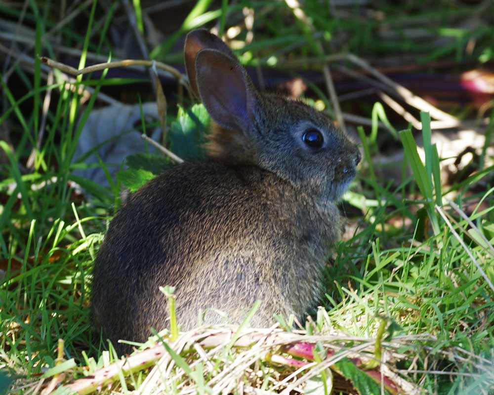 Kilchis Point cottontail