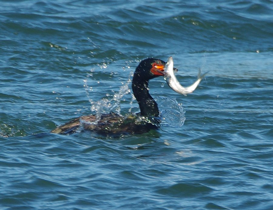 Oregon Tillamook Coast Pelagic Cormorant