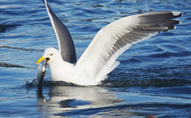 Western Gull Tillamook Coast