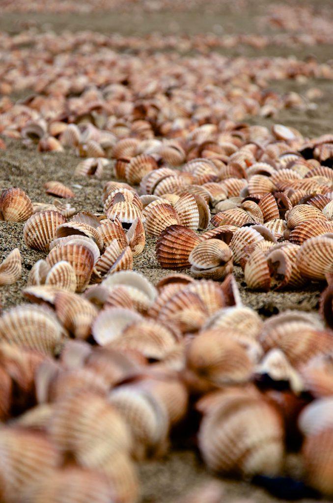 Cockles Tillamook Bay