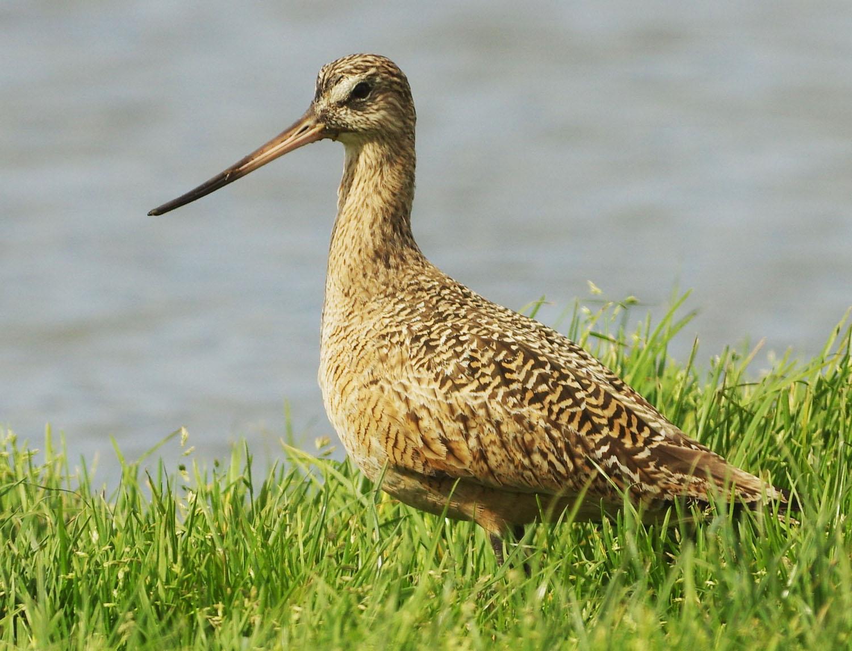 Bird with long beak, standing in the grass