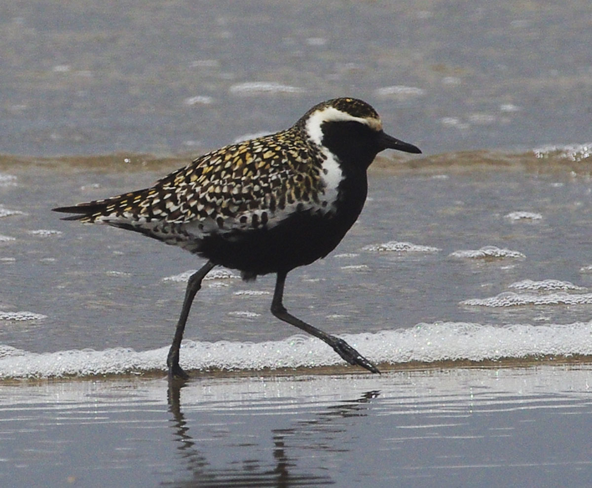 Pacific Golden Plover: speckled bird with white stripe and black belly wades in water