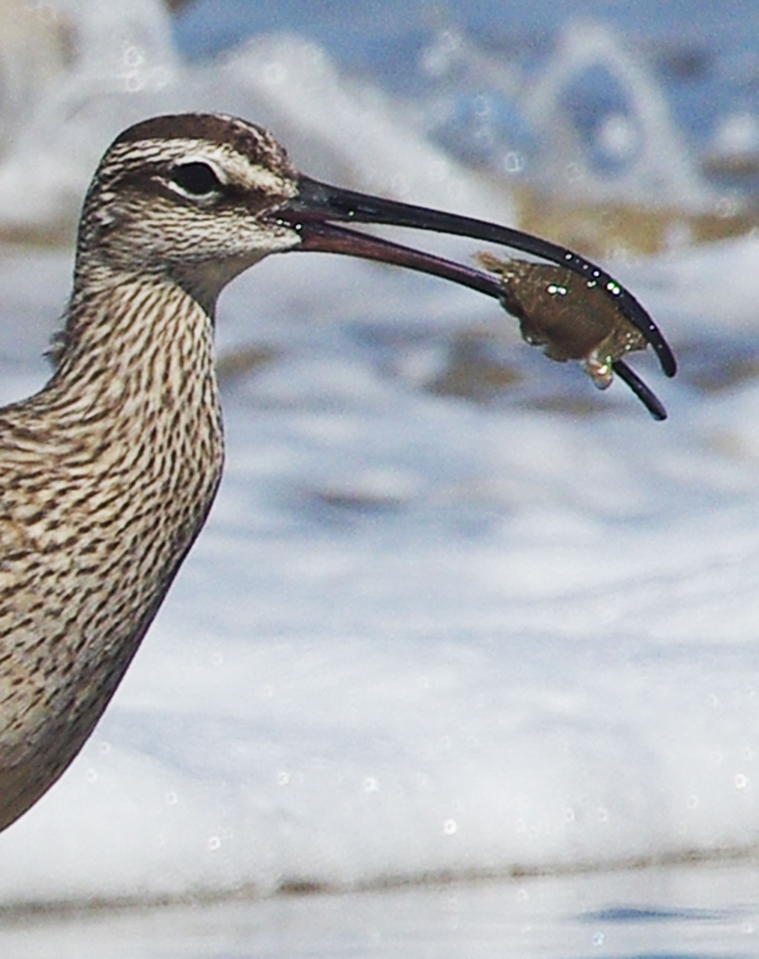 Long-billed bird holds a crab in its beak
