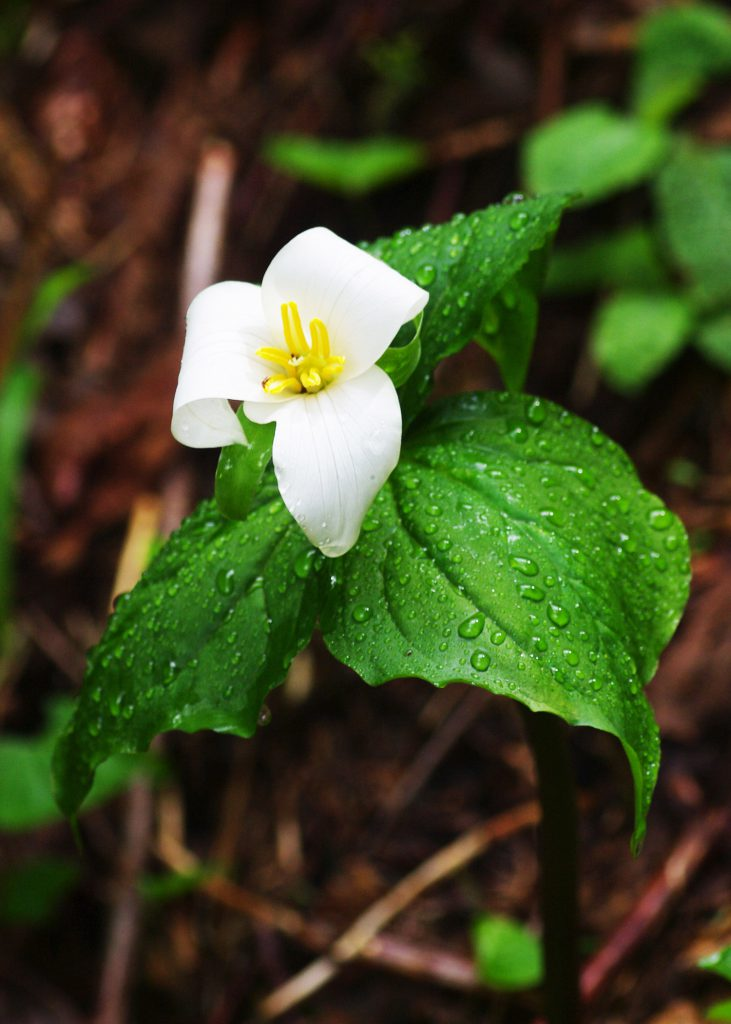 Western Trillium or Wakerobin on Mt. Hebo