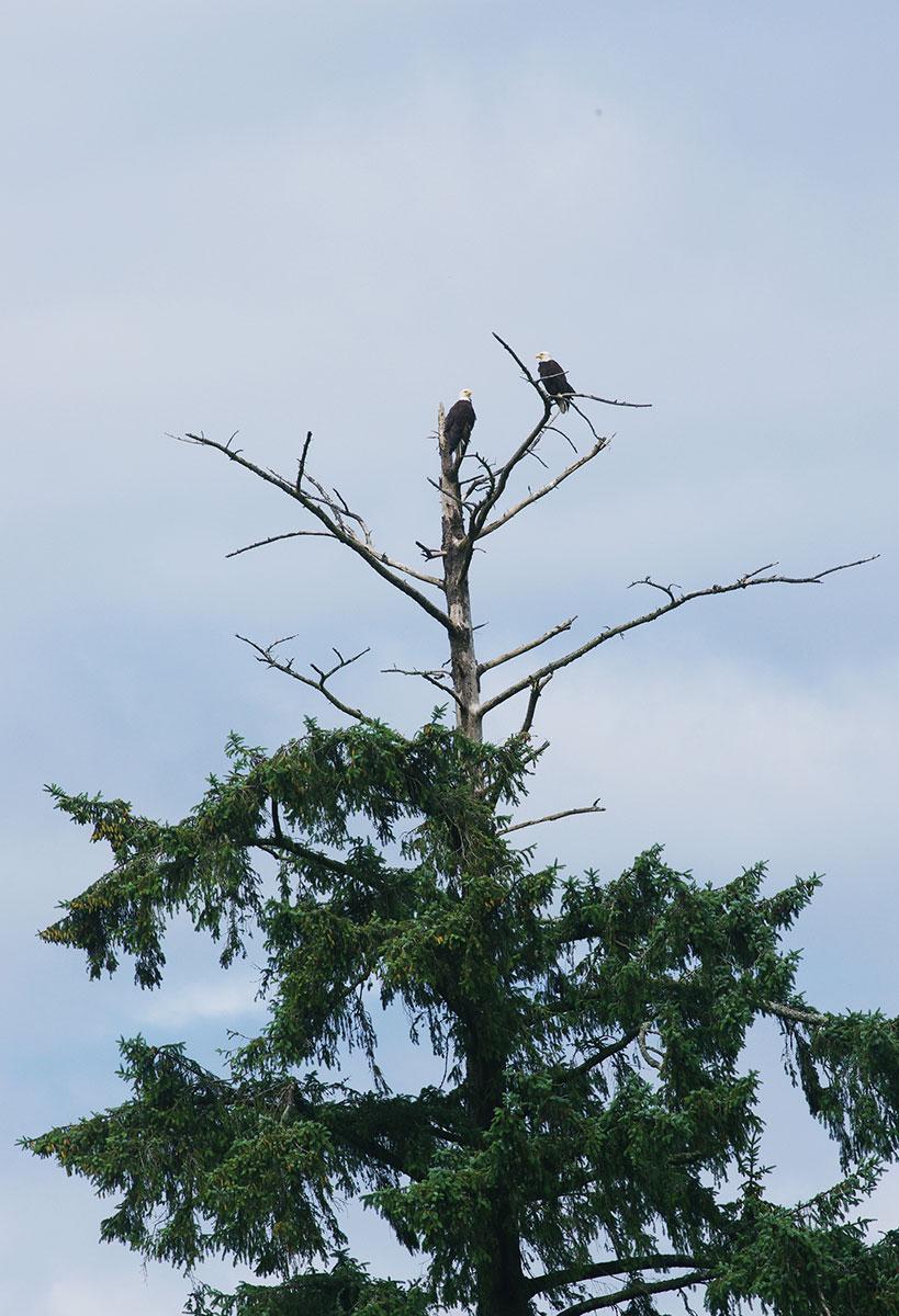 Bald Eagles Tillamook County