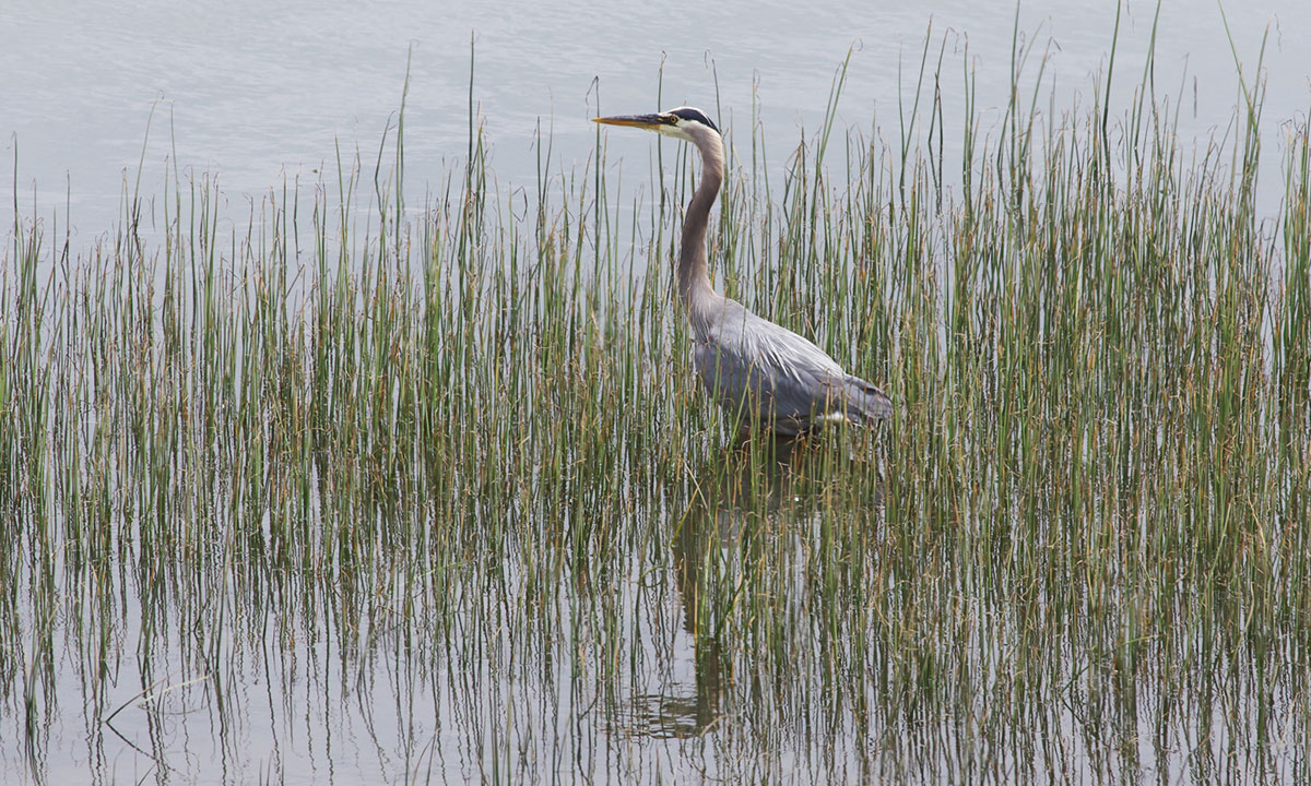 Great Blue Heron in Tillamook Bay