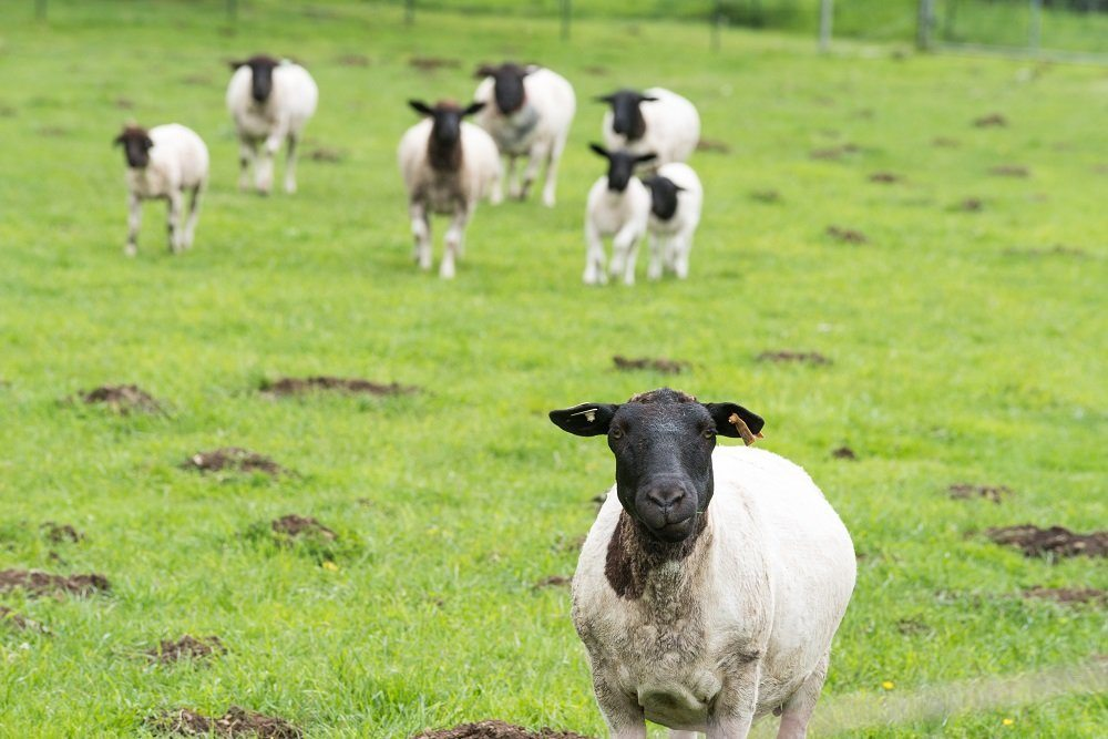 Spring lambs Pitch & Plow Farms