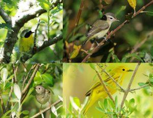 willowbird4