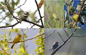 willowbirdsPDF1