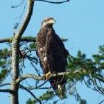 Eagle8019